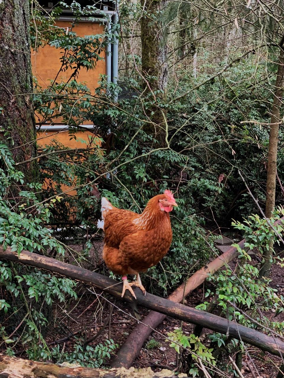 Sweet Chicken Flock