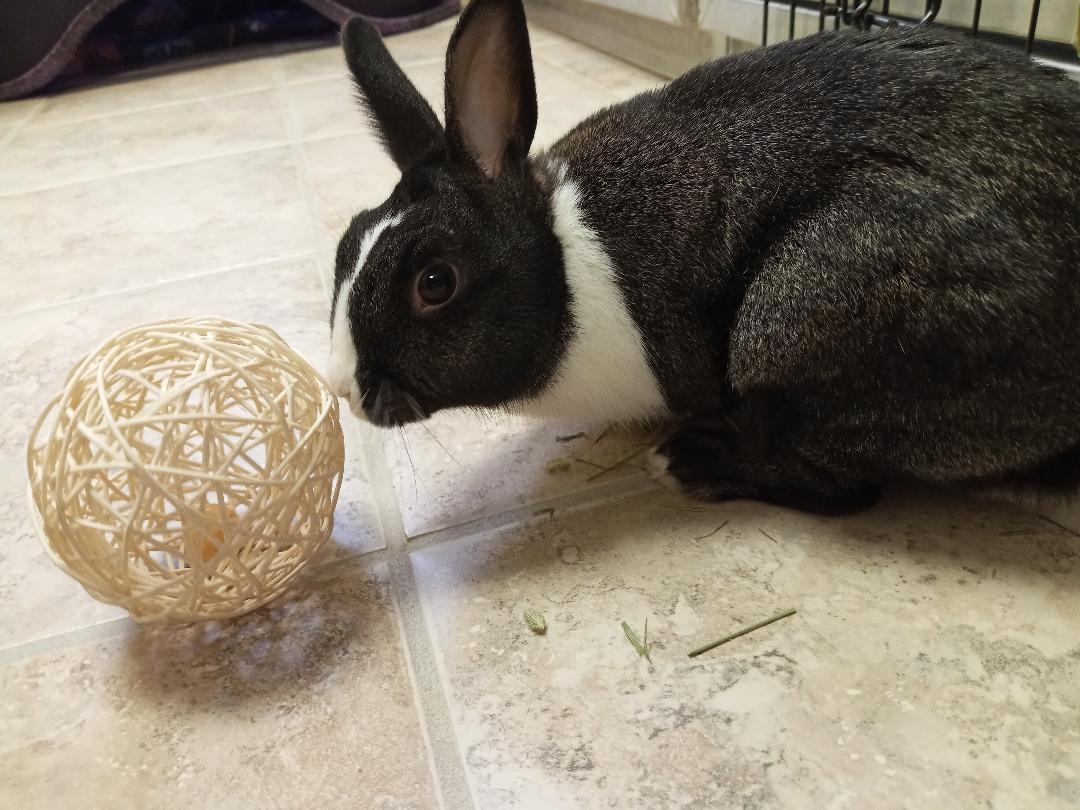 ACO Rabbit